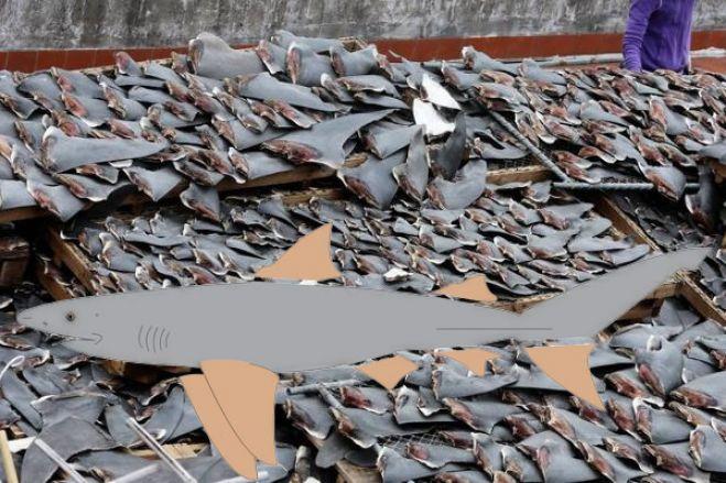 Autoridades de Angola investigam denúncia de extermínio de tubarões no país